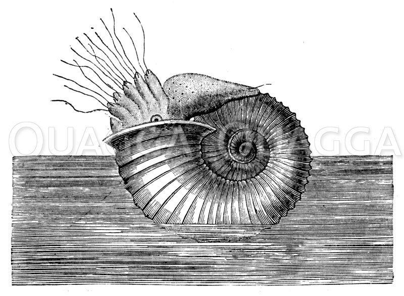 Restaurierter Braun-Jura-Ammonit Zeichnung/Illustration