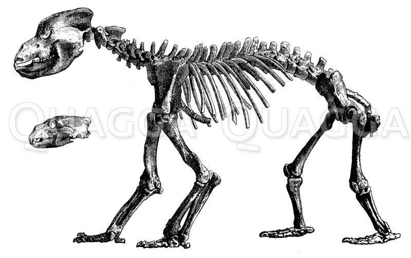 Höhlenbär: Skelett Zeichnung/Illustration