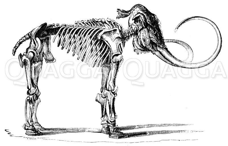 Mammut: Skelett Zeichnung/Illustration
