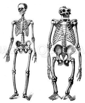 Skelett des Menschen_ Skelett des Gorilla Zeichnung/Illustration
