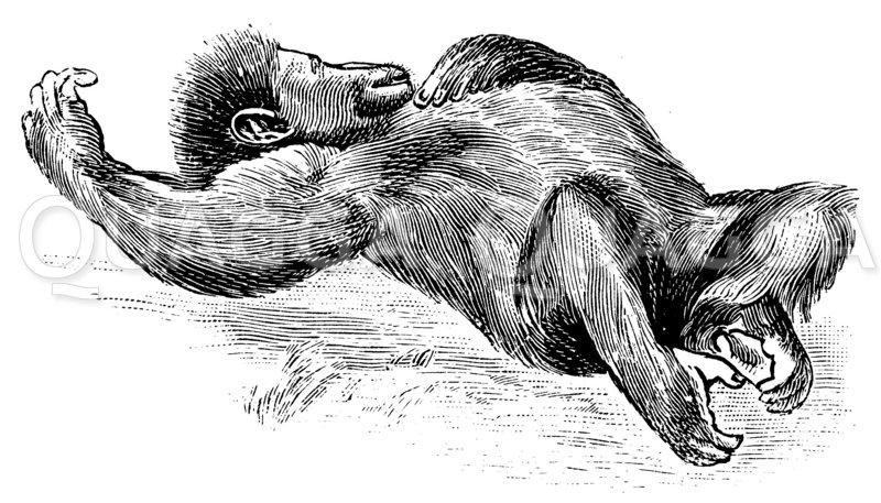 Schlafender Gorilla Zeichnung/Illustration