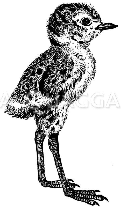 Frisch geschlüpfer Vogel Zeichnung/Illustration