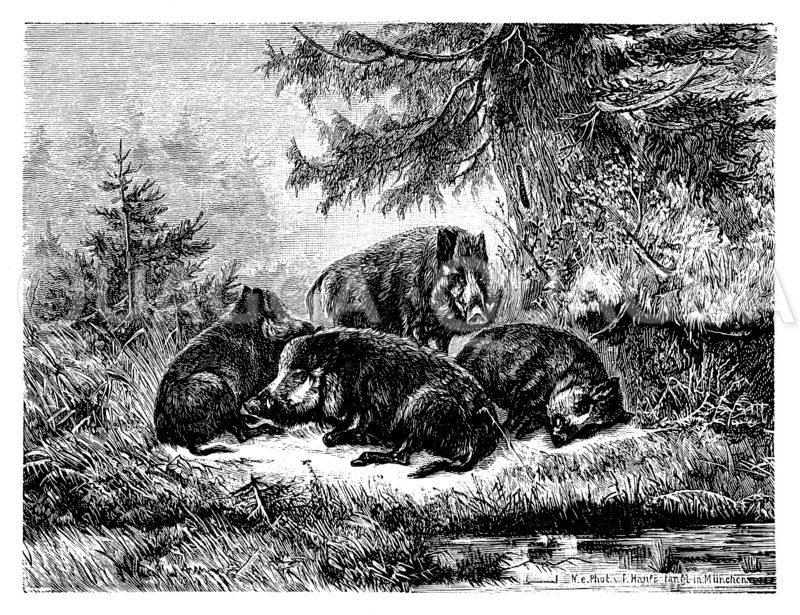 Eine Rotte Wildschweine. Von C. Ockert Zeichnung/Illustration