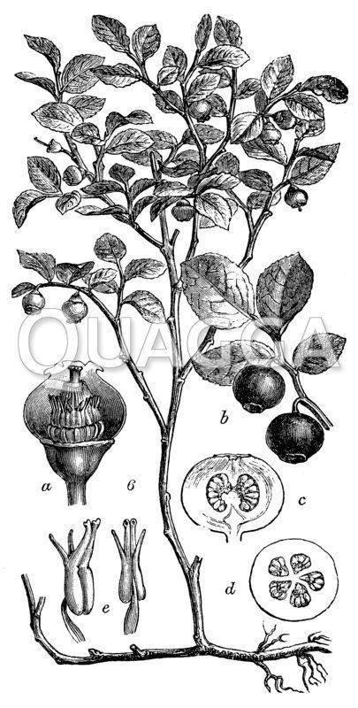 Heidelbeere (Blaubeere)