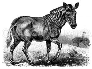 Quagga Zeichnung/Illustration