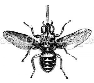 Tsetse-Fliege