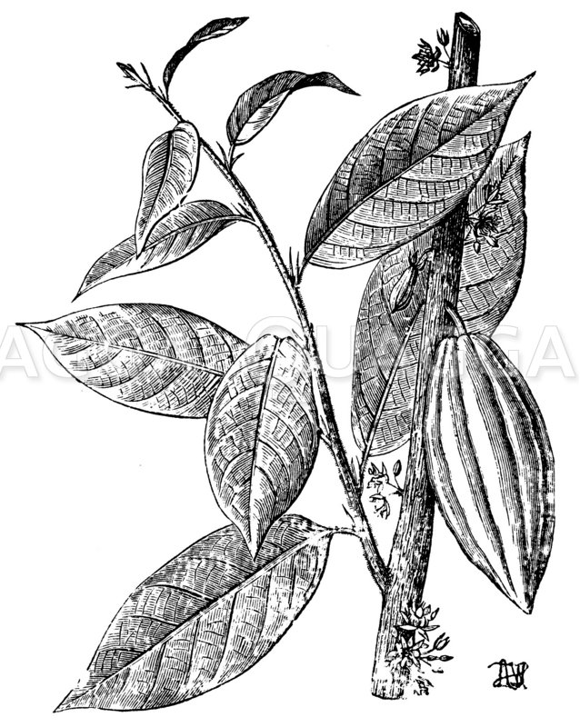 Kakao Zeichnung/Illustration