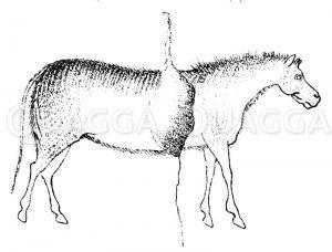 Wildesel von Thaingen Zeichnung/Illustration