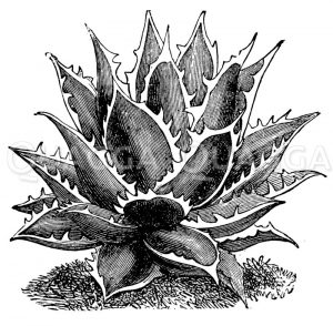 Agave Zeichnung/Illustration
