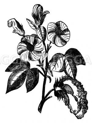 Baumwollpflanze Zeichnung/Illustration