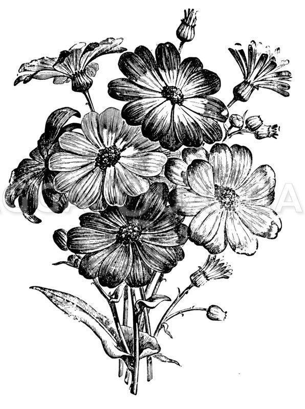 Cineraria hybrida Zeichnung/Illustration