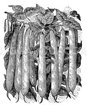 Wachsbohnen Zeichnung/Illustration