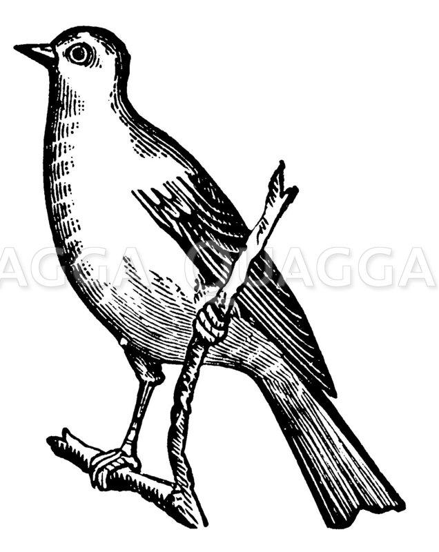 Kanarienvogel Zeichnung/Illustration
