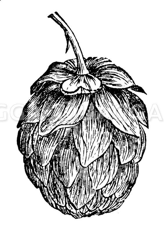 Hopfen: Fruchtdolde Zeichnung/Illustration