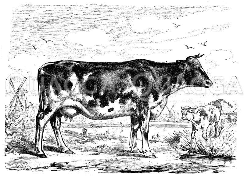 Holländer Kuh Zeichnung/Illustration