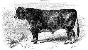 Stier der schottischen hornlosen Rasse Zeichnung/Illustration
