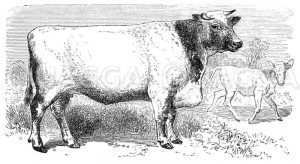 Kuh der Shorthorn-Rasse Zeichnung/Illustration