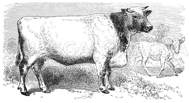 Kuh der Shorthorn-Rasse Zeichnung/Illustration