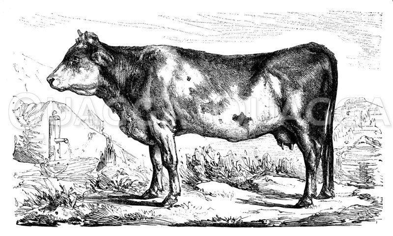 Kuh der Berner Rasse Zeichnung/Illustration