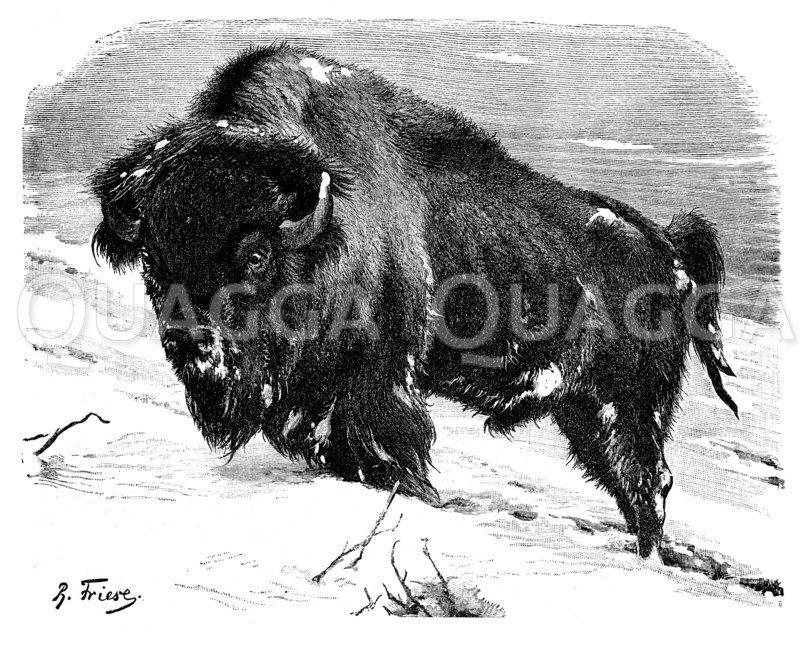 Amerikanischer Bison Zeichnung/Illustration
