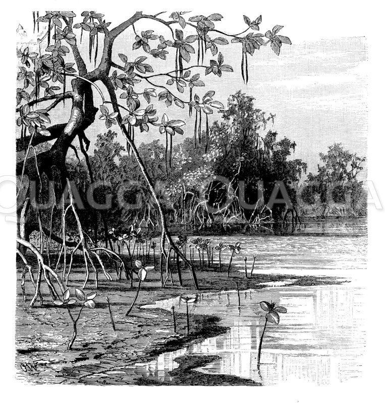 Mangroven bei Goa