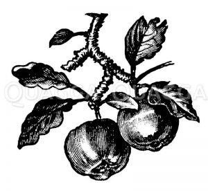 Vignette: Äpfel an einem Zweig Zeichnung/Illustration