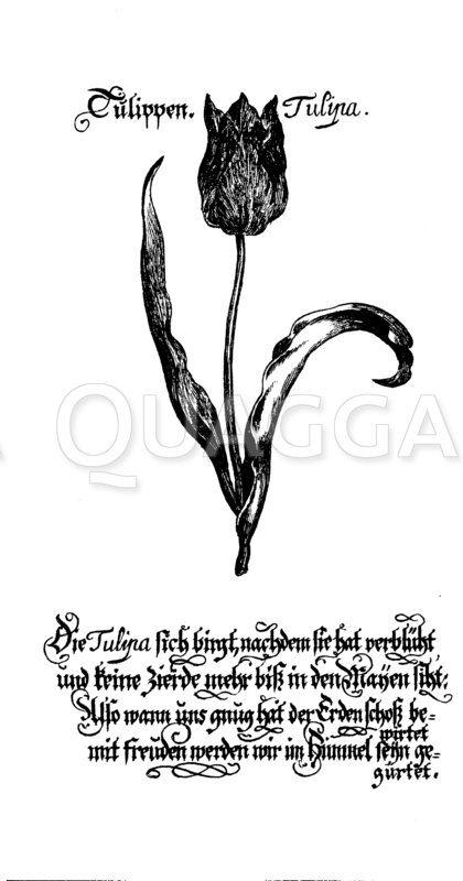 Tulpe Zeichnung/Illustration