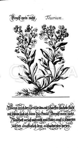 Vergissmeinnicht Zeichnung/Illustration