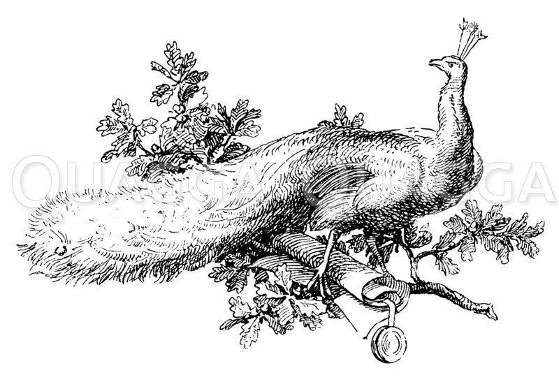 Vignette: Pfau mit Schriftrolle Zeichnung/Illustration