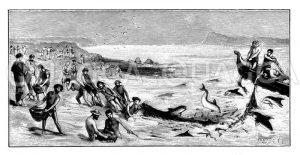 Delphine helfen Fischern beim Fang von Meeräschen Zeichnung/Illustration