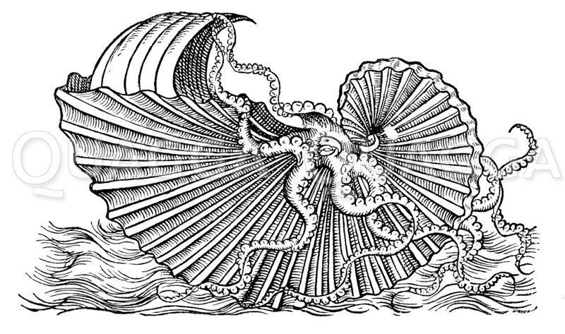 Segelnder Nautilus (Argonauta Argo) mit aufgespanntem Segel Zeichnung/Illustration
