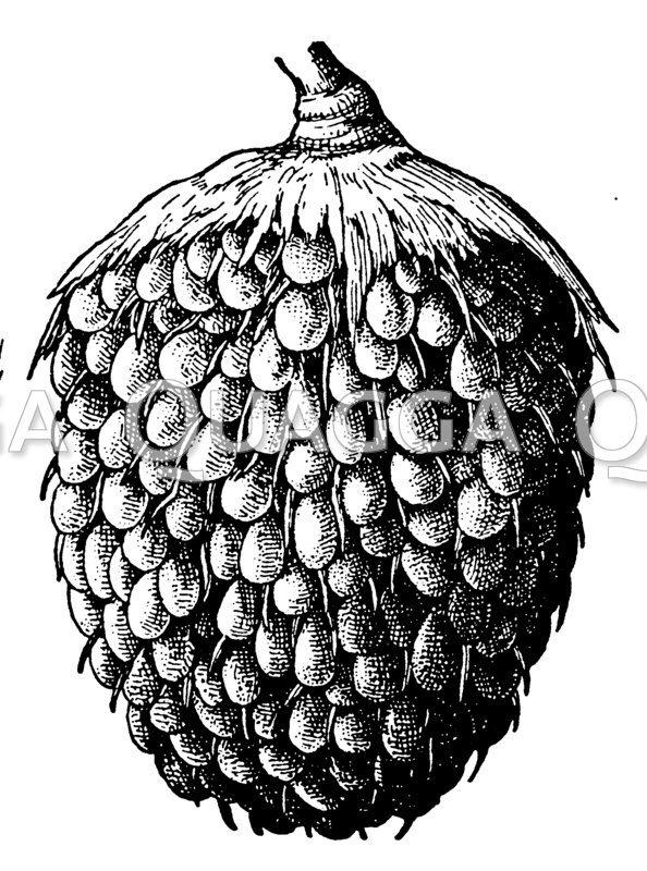 Ölpalme: Fruchtstand