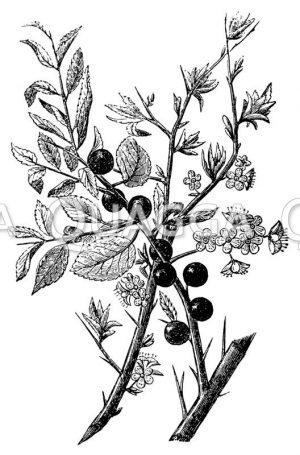 Schlehdorn (Schlehe)
