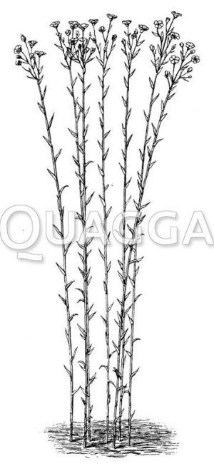 Leinpflanzen