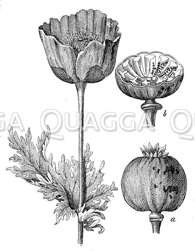 Mohn mit Blüte und Kapsel (a)