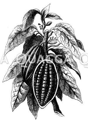 Kakaopflanze mit Früchten