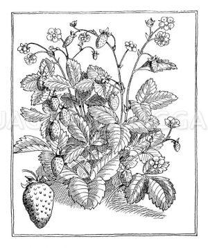 Rankenlose Monatserdbeere Zeichnung/Illustration