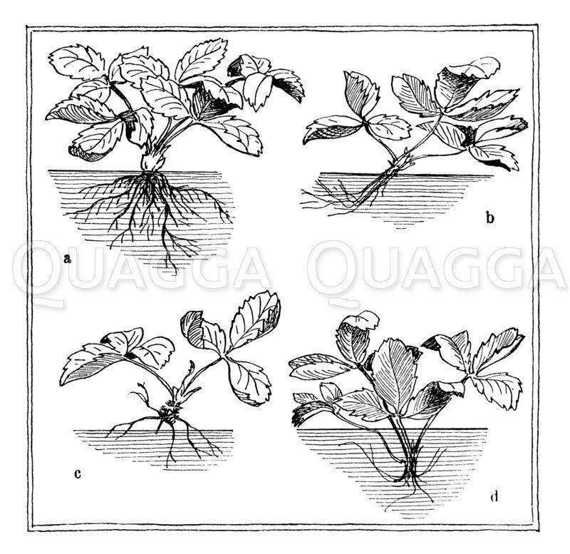 Erdbeeren pflanzen. a korrekte Pflanzung