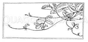 Erdbeere: Mutterpflanze mit Ausläufern Zeichnung/Illustration
