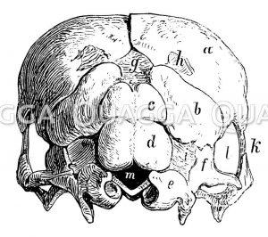 Schädel eines 111tägigen Rinderembryos