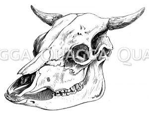 Schädel eines ungarischen Stieres