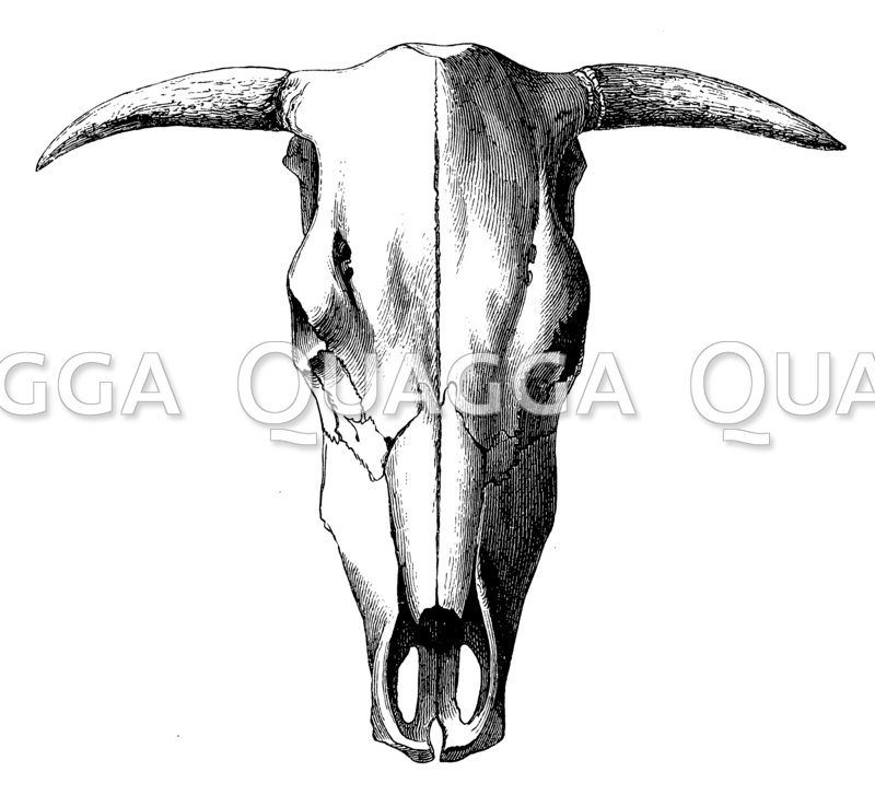 Schädel einer Saanen-Kuh