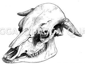 Schädel eines Berner Stieres