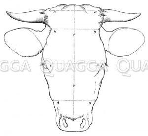 Kopf einer Kuh mit eingezeichneten Vermessungslinien