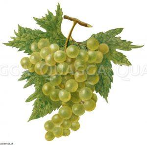 Weintraube mit Weinlaub