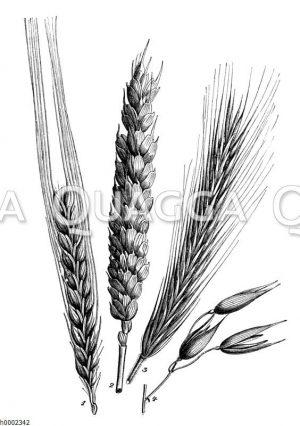 Getreidegräser: 1. Zweizeilige Gerste