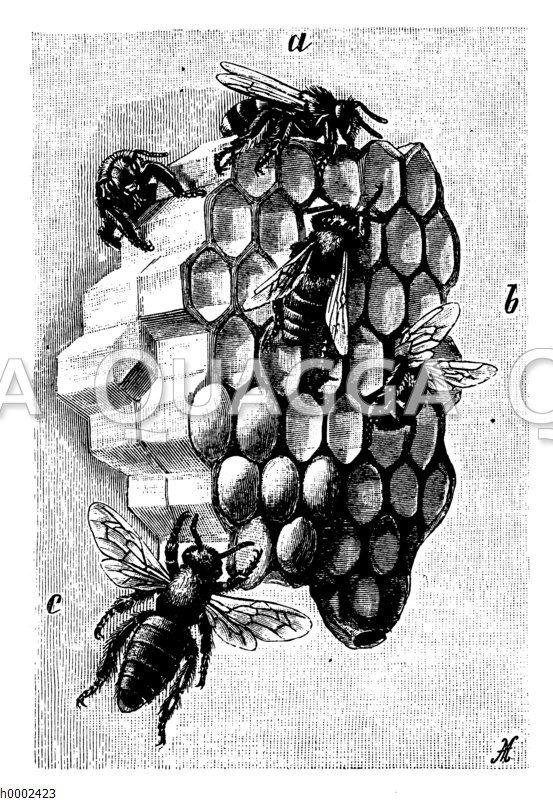 Honigbiene: Waben