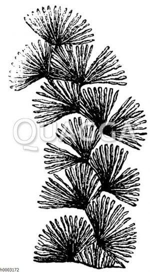 Oldhamia antiqua