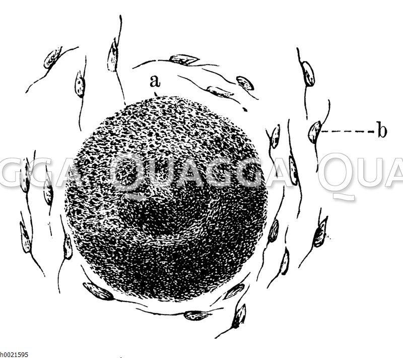 Befruchtung einer Eizelle
