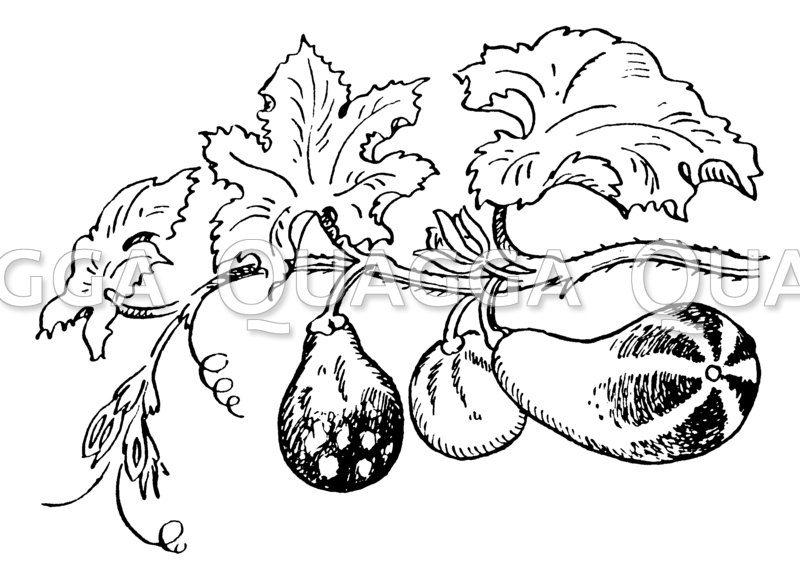 Zierkürbis